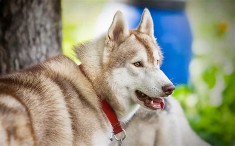 Husky wallpapers HD - Beautiful wallpapers collection 2018