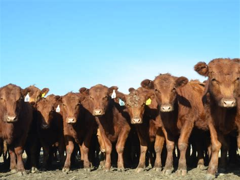 Just How Bad Did the Replacement Heifer Market Crash? - AgWeb
