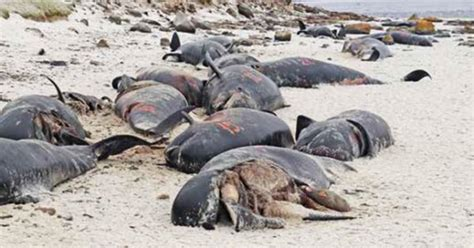 Falklands' Pebble Island turns into death trap for 56